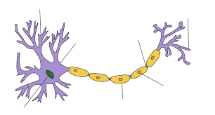 عملكرد نوروگلیا Function of neural –glial